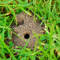 Does Your Lawn Have Mining Bees?