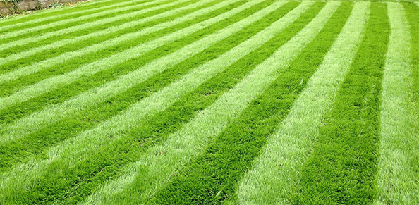 Lawn cut high in summer