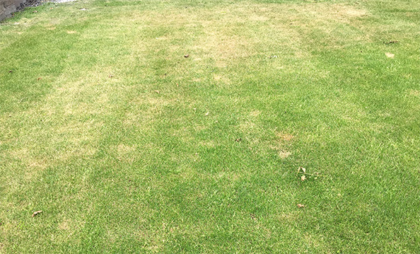 Lawn drying stress