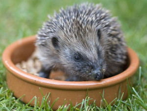 Hedgehog eating on a lawn
