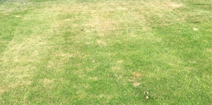 Dry Patch due to hydrophobic soil